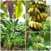 Protected: กล้วย