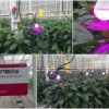 LED ปลูกพืช